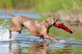 Weimaraner dog running in a lake