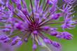 alium flowers growing