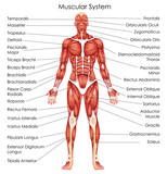 Medical Education Chart of Biology for Muscular System Diagram - 158571339