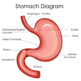 Medical Education Chart of Biology for Stomach Diagram - 158571568