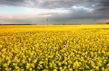 Flowering rape field with in the rural landscape