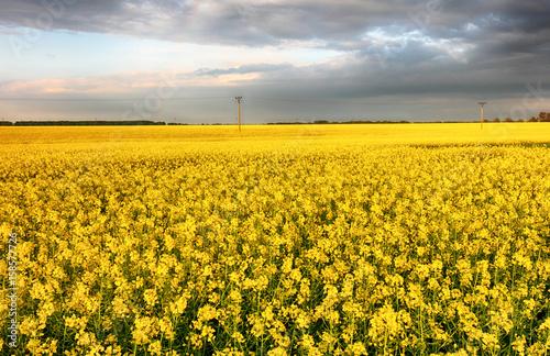 Flowering rape field with in the rural landscape
