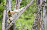 Gibbon à mains blanches dans les arbres