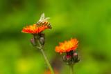Biene auf orangefarbener Blume