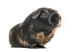 Black and brown guinea pig, isolated on white
