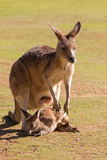 Cute Kangaroo with Joey outside pouch standing on green field in the sun, afternoon in Tasmania, Australia