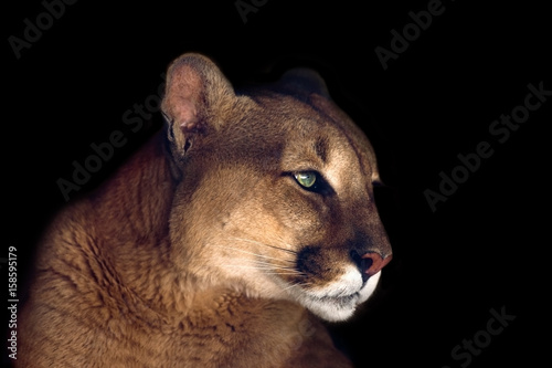 Foto op Aluminium Panter Beautiful puma portrait isolated on black background