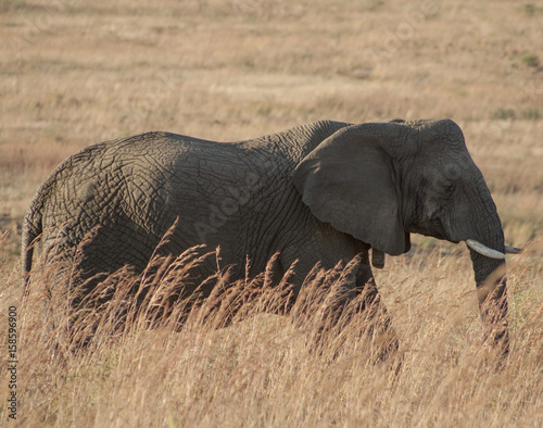 African Elephant walking through grassland Poster