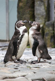 two funny penguins in love 2