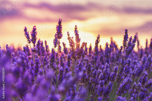 Beautiful sunset on lavender fields in Provence, France.Lavender closeup on the background of the setting sun.Lavender field with a blurred focus.Lavender field over sunser sky. - 158608194