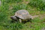 Tartaruga gigante che passeggia nel prato verde