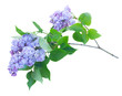 Twig of fresh blue lilac flowers isolated on white background