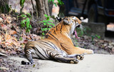 The Bengal tiger (Panthera tigris tigris) is the most numerous tiger subspecies. By 2011, the total population was estimated at fewer than 2,500 individuals with a decreasing trend.