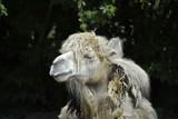 Kamel in Tierpark