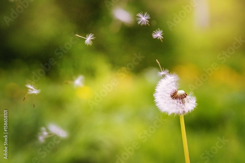 Flying dandelion in the grass. Flying dandelion seeds.