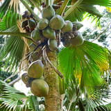 fresh fruit on the tree coconut