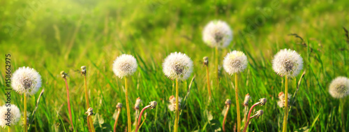Dandelions isolated on green background.