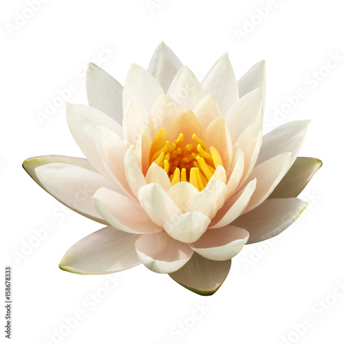 Fototapeta The white lotus isolated on white background