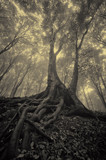 old tree roots in dark misty forest landscape - 158719155