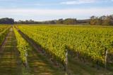 Vineyard at Long Island, New York, USA