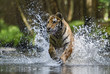 Siberian Tiger hunting in the river