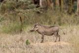 Common Warthog - Phacochoerus africanus