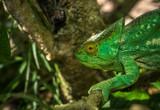 Green chameleon of Madagascar