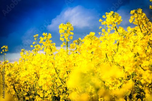Leuchtend gelbes Rapsblüten mit dramatischem Himmel - Rape field