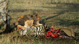 Lions Feeding on Zebra after successful hunt, Serengeti