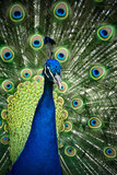 Peacock showing full plumage in colourful close up