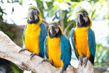 Parrot, Blue and yellow macaw,