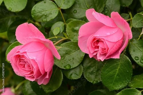 Aluminium Candy roze Blumen 805