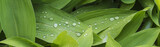 waterdroplets on green leaves of lily of the valley