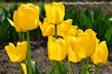 Spring landscape, flower yellow Tulip on soft green background of leaves in bright sunlight, close-up