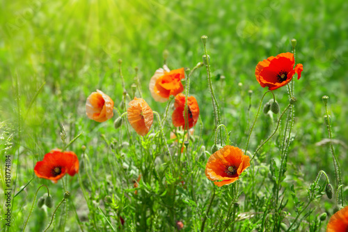 poppy-flowers-isolated-on-green