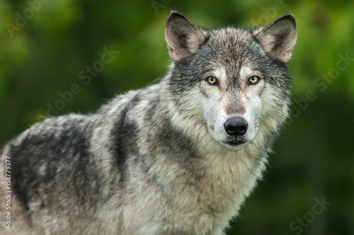 Fotobehang Wolf Grey Wolf (Canis lupus) Looks Out Head and Body