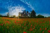 Fototapeta Maki - Polne maki © Stanisaw