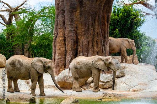 Elefante africano, Bioparc, Valencia, Spagna Poster