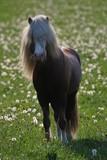 anmutiger Isländer Hengst mit Zopf und langer weißer Mähne schaut neugierig und aufmerksam