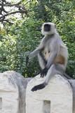 Indina monkey