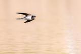 Rauchschwalbe (Hirundo rustica) im Flug über den Teich - 158796395
