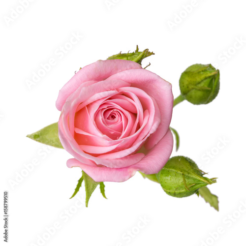 Staande foto Roses Pink rose with buds isolated on white background