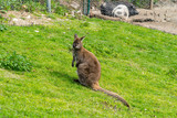 wallabies in the alps