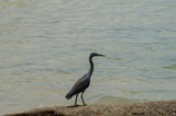 Pacific reef egret standing on a rock