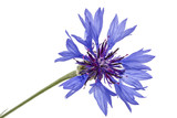 Flower of cornflower, lat. Centaurea, isolated on white background