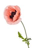 Flower of scarlet poppy, lat. Papaver, isolated on white background