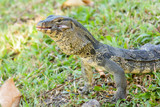 Varanus salvator eating frog in the park.