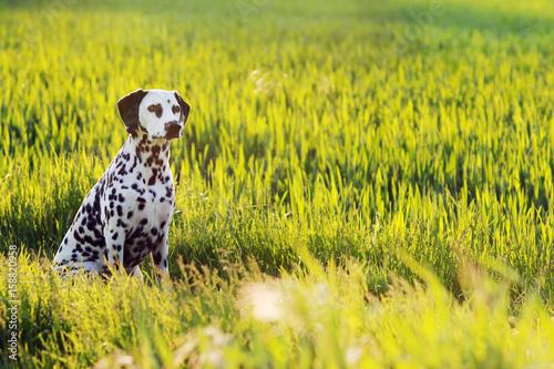 Dalmatiner Hund sitzt in Sommer Wiese Poster