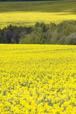 Field of blooming rape, rapeseed yellow flowers, canola .