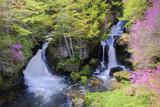 トウゴクミツバツツジ咲く龍頭の滝